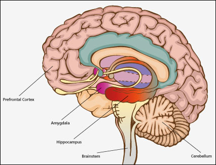 Figure 2: The Brain