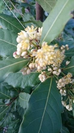 Bay Leaf Laurel