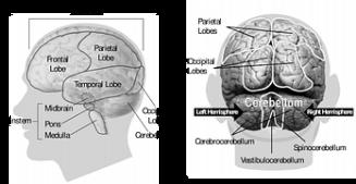 brain-148131__180-1